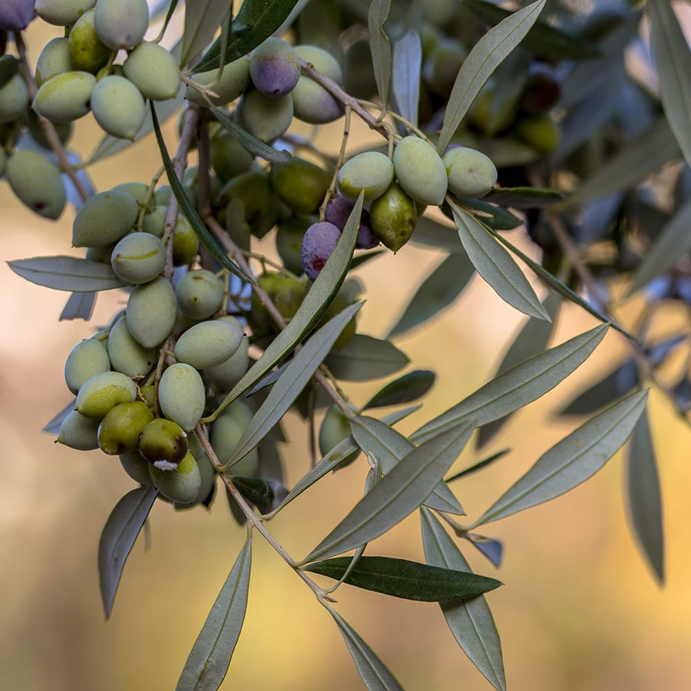 Israel Olive Tree on Vine